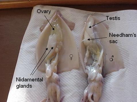 รู้หรือไม่! ไข่ปลาหมึก ที่กินกันทำมาจากอะไร บอกเลยว่าไม่ใช่ส่วนของ ไข่ นะ รู้แล้วขนลุกไม่เบา!