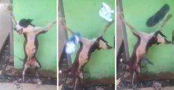 ทรมานหมา จับตรึงกางเขนก่อนปาบุหรี่และรองเท้าใส่ พร้อมหัวเราะสนุกสนาน!!