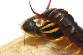คลิปตะขาบกินแมลงสาบ โหดทะลุจอระดับ HD เชือดนิ่มๆ เห็นแล้วขนลุก!!