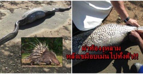 มาดูสภาพของงูหลามแอฟริกาหลังเขมือบเม่นเข้าไปทั้งตัว!! ผ่าท้องออกมา ถึงกับผงะกับชะตากรรม!!