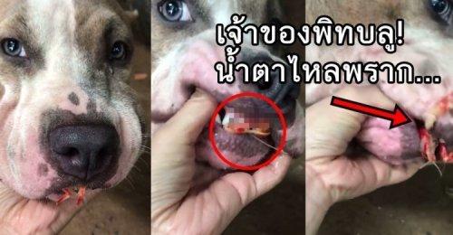 เจ้าของพิทบูลช็อก! เห็นปากเจ้าตูบมีสิ่งผิดปกติ! พยายามเอามือง้างจนเจอเข้ากับ! พูดไม่ออกน้ำตาจะไหล!